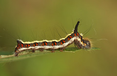 Grey Dagger caterpillar (Acronicta psi) | by nutmeg66