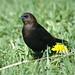 Brown-headed Cowbird(Molothrus ater)