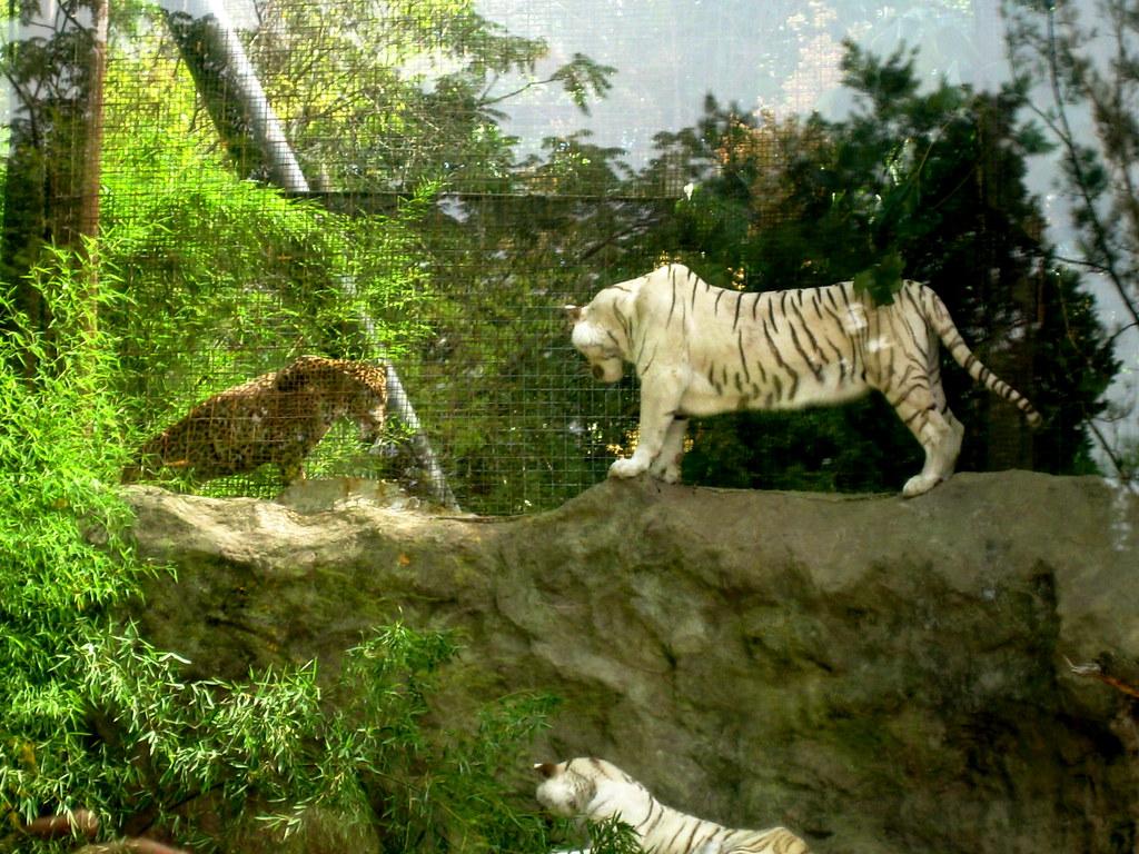 White Tiger In Wid Cat Sactuaru