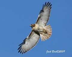 "Red-tailed Hawk By Jack Bird | by ""Jack Bird"""