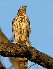 Cooper's Hawk Looking Up | by William Jobes
