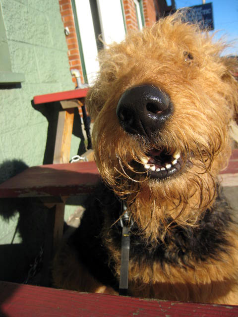 Airedale Inauguration Day Bogart Handsome Devil