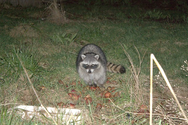 raccoon in me yard flickr photo sharing