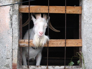 Billy Goat Hanging on Side of Road Outside Alba, Italy | by SeppySills