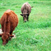 Orange and Brown Cows in a Green Field