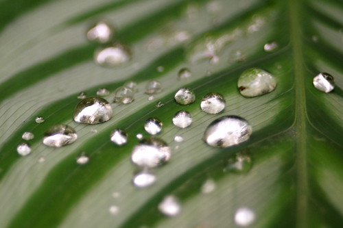 Drops on a leaf | by robpatrick
