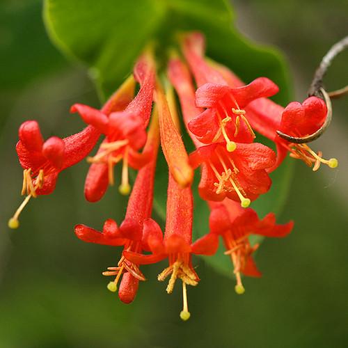 PlantFiles Pictures: Lonicera Species, Coral Honeysuckle ...  Trumpet Honeysuckle