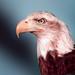 Grasonville Bald Eagle