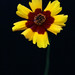 Yellow Coreopsis #4