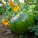 Gourd in Children's Garden