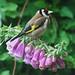 watchful goldfinch