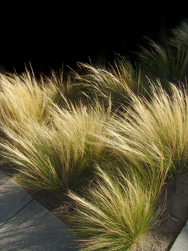 nassella tenuissima  formertly stipa tenuissima  - mexican feather grass