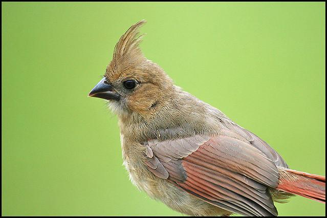 Juvenile Cardinal   Female, I believe, because of the lack o ...