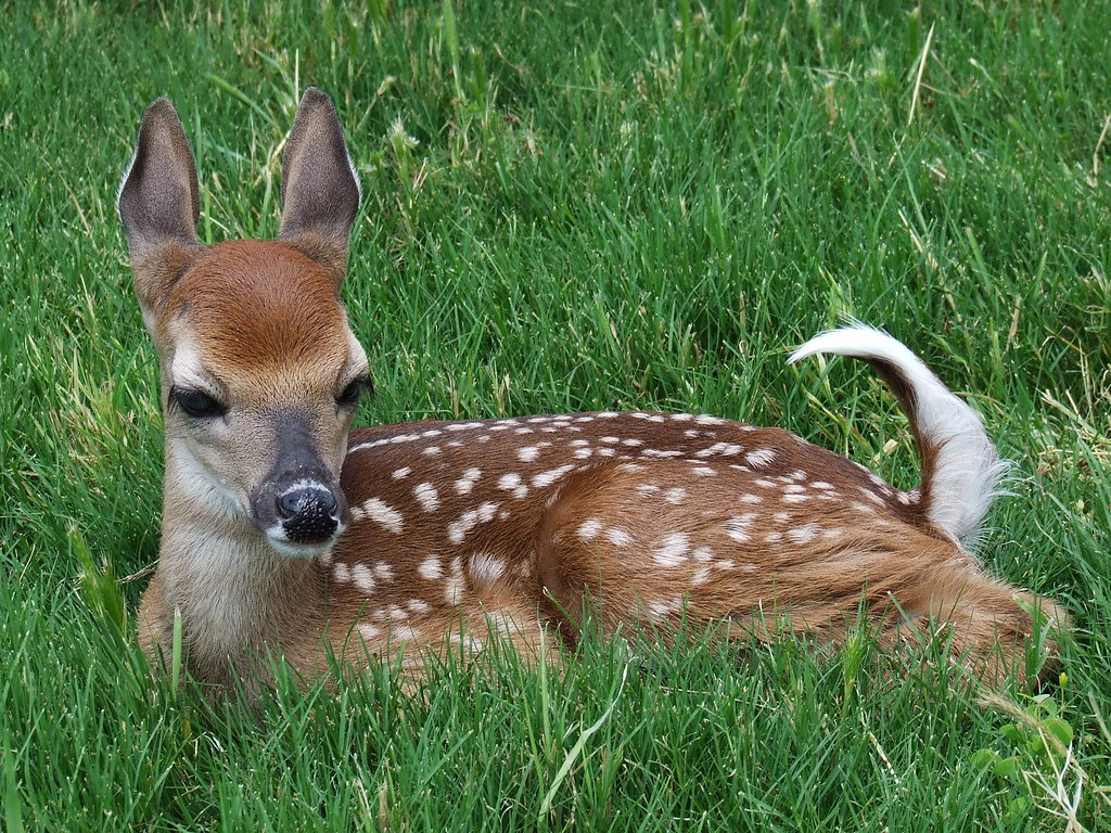 baby whitetail deer | Found this baby whitetail and bottle ... - photo#27