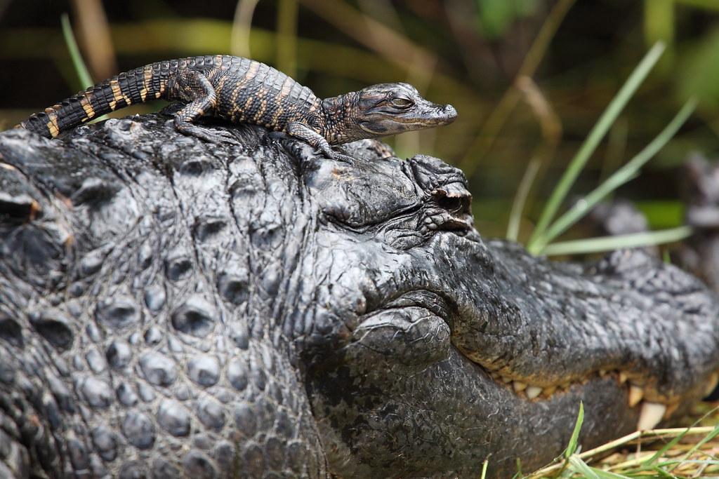Crocodile On Florida Beach