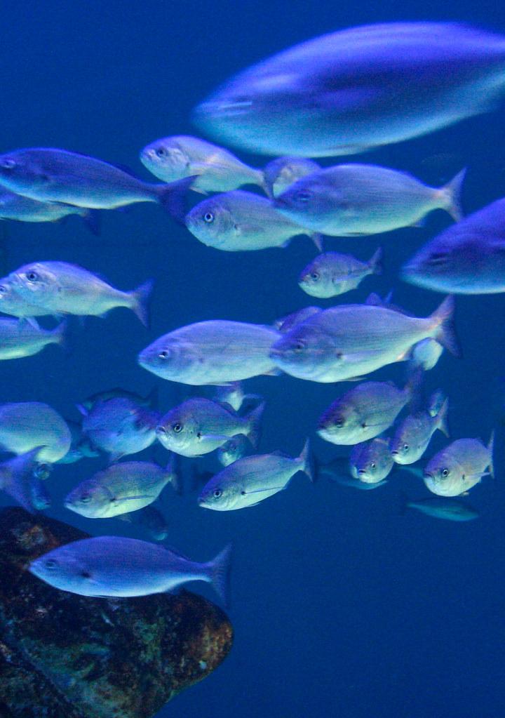 Fish in blue | Acuario...