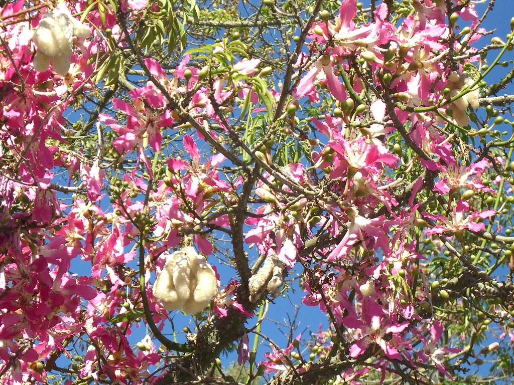 Silk floss (kapok) tree | This tree has it all! Gorgeous