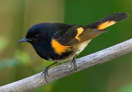 Redstart | by David C Burnett