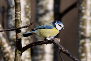 blue tit | by peteshillsandbirds