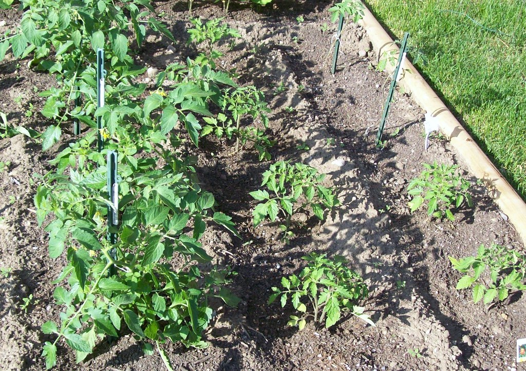 San Marzano Tomatos How Much Sun Grow In Raised Beds