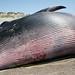 Minke Whale (Lesser Rorqual) observed dead 17 April 2006 on Morro Bay Sandspit