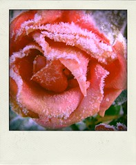 rose-givre-pola by Sardequin