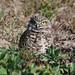 Burrowing Owl -- Cape Coral (FL) Park,  01-17-2009