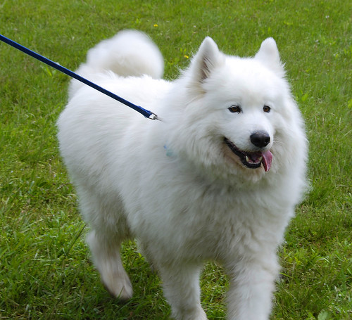 Big White Fluffy Mountain Dog