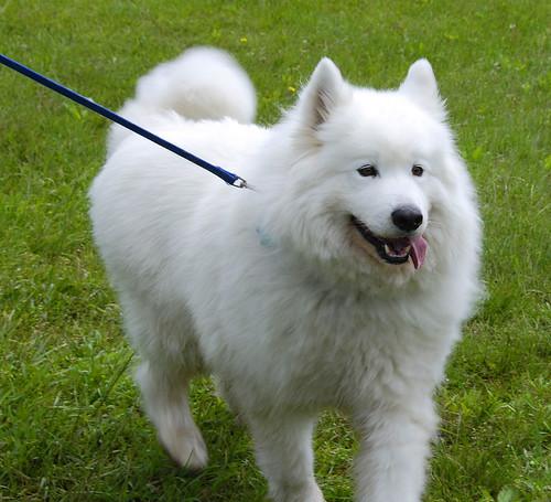 Furry White Dog Bark Remix