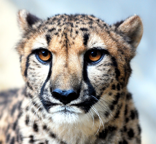 Cheetah | by floridapfe