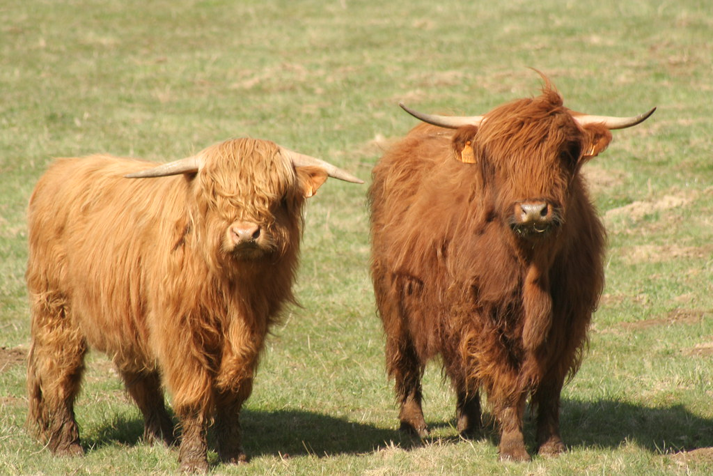 Highland cattle or curious hairy coo highland cattle or for Www coo