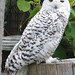 Female Snowy Owl