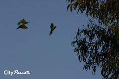 Red-masked parakeets (Aratinga erythrogenys)