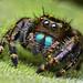 Immature Phidippus audax Jumping Spider