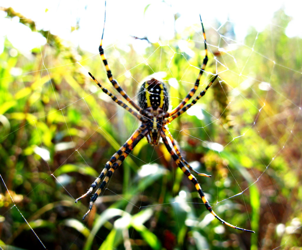 Black And Yellow Argiope Also Known As Quot Black And