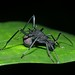 Spiny ant (Polyrhachis sp), Bukit Timah, Singapore