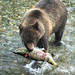 Alaskan Coastal Brown bear.....11