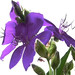 High Key Purple