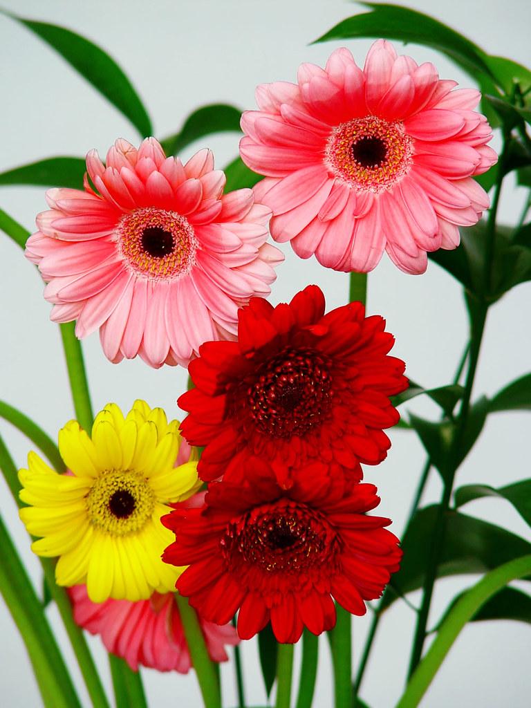 Gerberas mini gerberas mini m s informaci n sobre flores - Fotos de rosas de colores ...