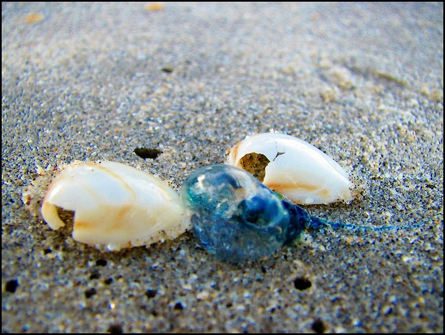 Baby Man O' War | This lil guy washed up on shore today ...
