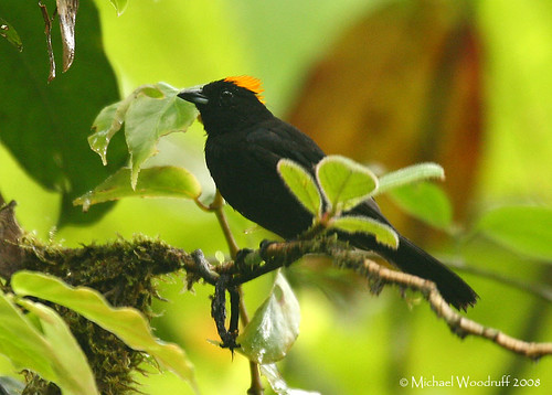 Tawny-crested Tanager | by Michael Woodruff