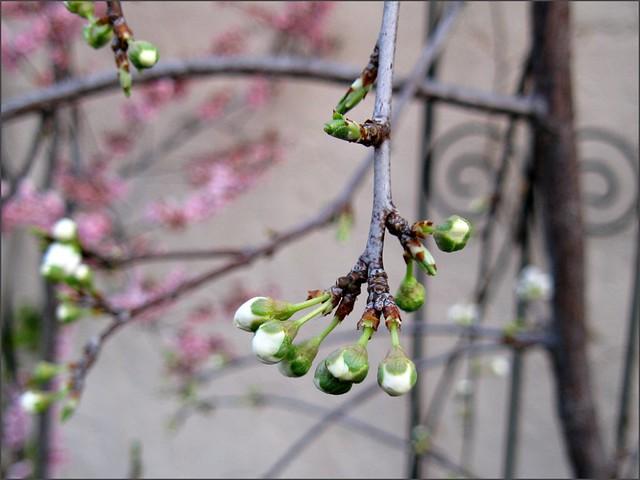 buds on the weeping santa rosa plum tree