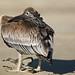 Brown Pelican (Pelecanus occidentalis) possibly distressed