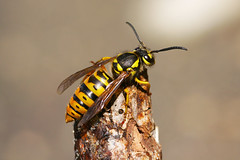 Eastern Yellow Jacket Queen (Vespula maculifrons)