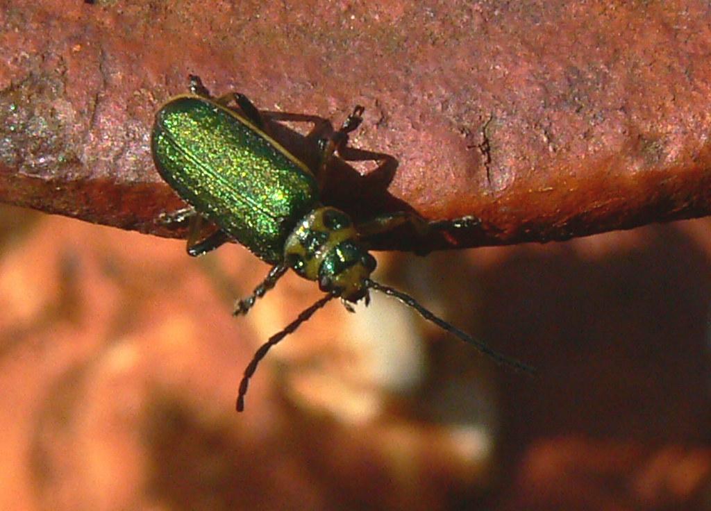 Iridescent Green Beetle Jewel Like Beetle Iridescent