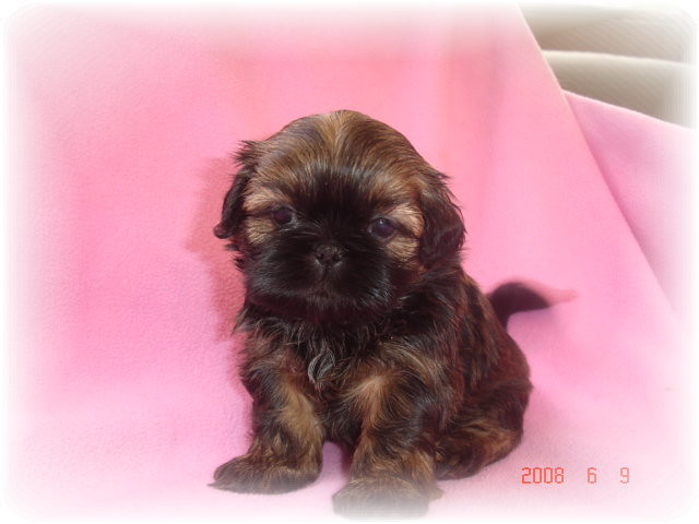 what does a shih tzu chihuahua look like shih tzu does she look like a sochee a roxy a lala 7982