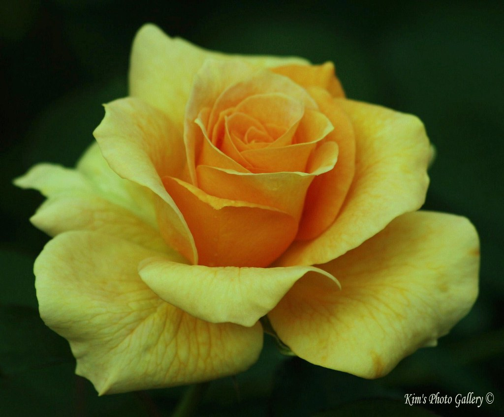 yellow rose images for mobile