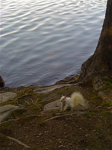 Elusive RARE White Squirrel Spotted at Jamaica Pond | by stevegarfield