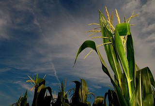 Late July Corn | by Neil Weaver Photography