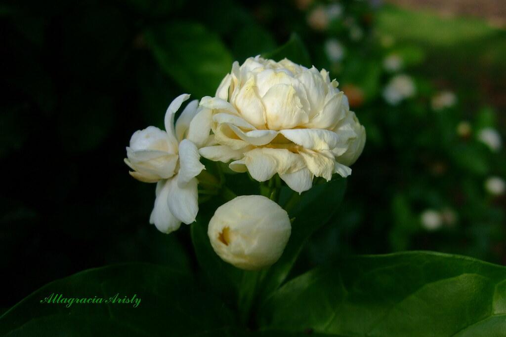 Resultado de imagen para gardenias boton